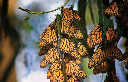 Rotarians pledge to restore the monarch butterfly's disappearing habitat